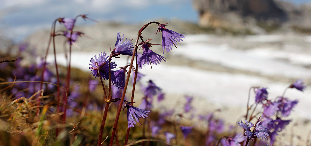 Detail of violet flowers with background of rocks and snow