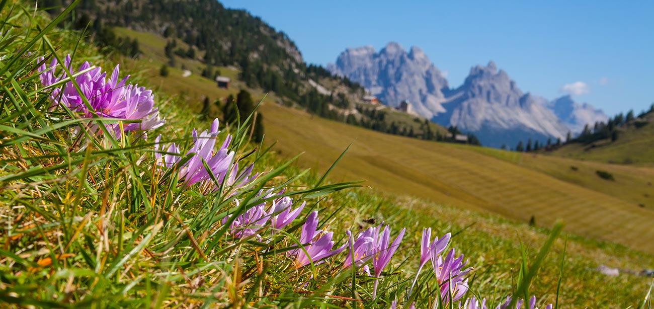 Pink flowers on green meadows with Dolomites on the background